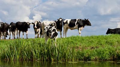 Praktische tips voor het drenchen van melkkoeien
